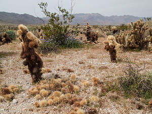 My nemesis, the Chain-Fruit Cholla