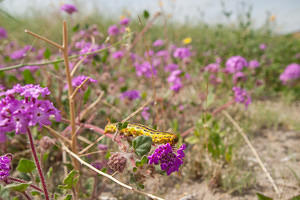 Caterpillar and desert sand-verbena