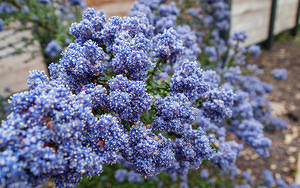 Blue flower bunches