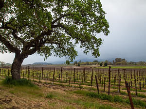 Oak and vines