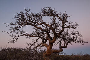 Elephant tree at sunset