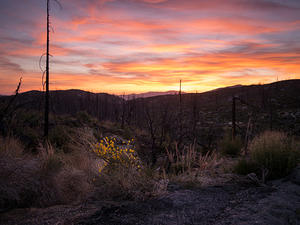 Yellow flowers and sunset over a recent forest fire