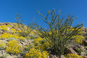 Brittlebrush and Ocotillo on Montezuma Valley Road