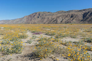 Anza Borrego Wildflows