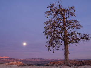 Tree on the rim of Bryce