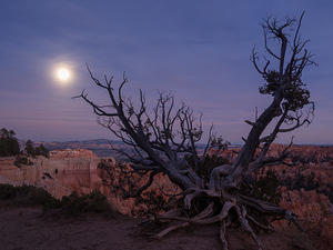 Gnarled Bryce tree, rising moon