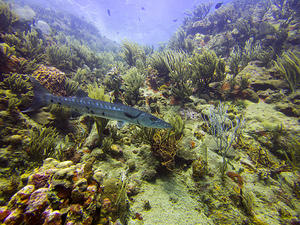 Barracuda and corals