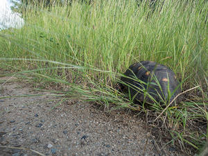 Tortoise walking through the grass