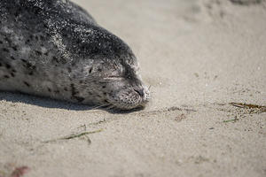 Sleeping harbor seal