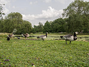 Ducks in St James Park