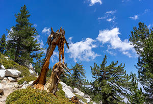 Dead tree on Mt. San Jacinto Summit Trail