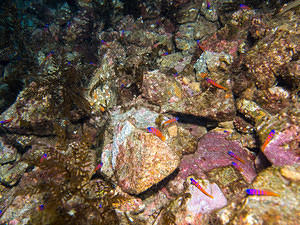 Lots of Catalina Gobies