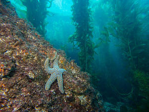 Starfish and kelp