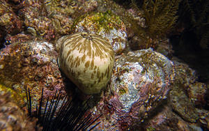 Brown limpet