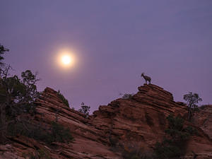 Zion bighorn sheep by moonlight