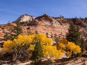 Yellow leaves - fall in Zion