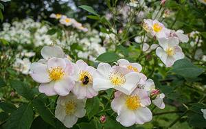 A bee and white roses