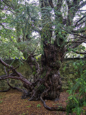 The yew is 2000 years young